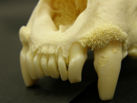 Osteophytes over both canines and the upper incisors