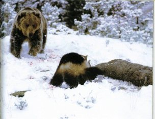 Wolverine vs Bear