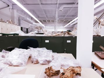 I get to spent time in this huge research/storage space working with other volunteers to help them identify and label an Arctic zooarchaeological collection!